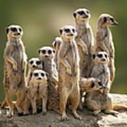 Meerkat Family On Lookout Art Print
