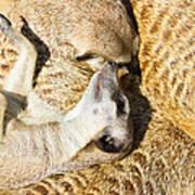 Meerkat Group Resting Art Print