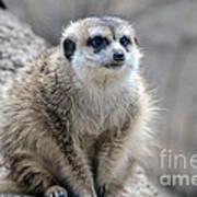 Meerkat Is Waiting Art Print
