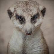 Meerkat Stare-down Art Print