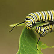 Meeting In The Middle - Monarch Caterpillars Art Print