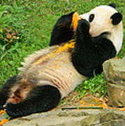 Mei Xiang Chowing On Frozen Treat Art Print