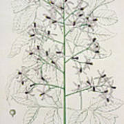 Melia Azedarach From 'phytographie Medicale' By Joseph Roques Art Print