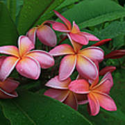 Melia Hae Hawaii Pink Tropical Plumeria Keanae Art Print