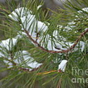 Melting Snow In The Pines Art Print