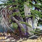 Mendocino Cypress II Art Print