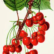 Mercer Cherry Illustration 1892 Art Print