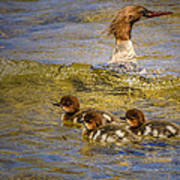 Merganser Lake Tahoe Art Print
