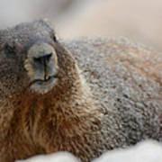Merry Marmot Art Print