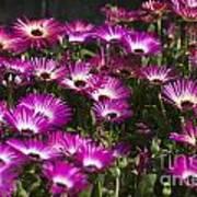 Mesembryanthemums 3 Art Print