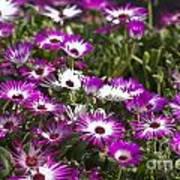 Mesembryanthemums 5 Art Print