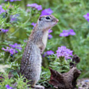 Mexican Ground Squirrel In Wildflowers Art Print