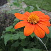 Mexican Sunflower Art Print