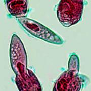 Microscopic Predation Art Print