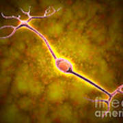 Microscopic View Of A Bipolar Neuron Art Print by Stocktrek Images