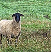 Middle Child - Blackfaced Sheep Art Print