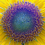 Middle Of Sunflower Close-up Art Print