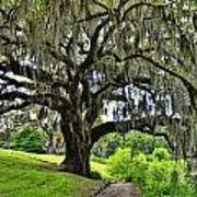 Middleton Place Oak  Art Print