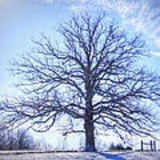 Mighty Oak In Winter Art Print