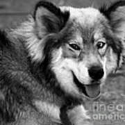 Miley The Husky With Blue And Brown Eyes - Black And White Art Print by Doc Braham