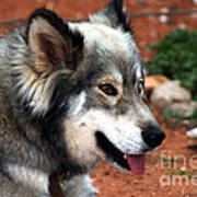 Miley The Husky With Blue And Brown Eyes Art Print by Doc Braham