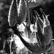 Milkweed #10 Art Print