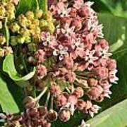Milkweed Flowers In Bud Art Print