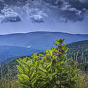 Milkweed Plants Along The Blue Ridge Parkway Art Print