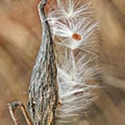 Milkweed Pod And Seeds Art Print
