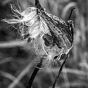 Milkweed Pod Monochrome Art Print