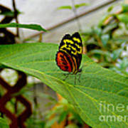 Mindo Butterfly Poses Art Print