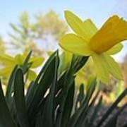 Mini Daffodils Art Print