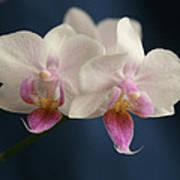Mini Orchids 2 Art Print