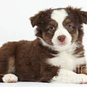 Miniature American Shepherd Puppies Art Print