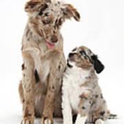 Miniature American Shepherd With Puppy Art Print