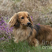 Miniature Long-haired Dachshund Art Print