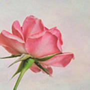Miniature Rose II Art Print