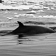 Minke Whale With Marked Notched Dorsal Fin And Yellow Diatom Marking With Tourist Zodiac Boats In Th Print by Joe Fox