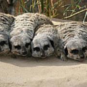 Mischievous Meerkats Art Print