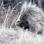Mister Porcupine - Denali Alaska Art Print