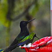 Mister Santa Pants    Mindo Hummingbird Art Print by Al Bourassa