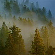 Misty Morning In The Pines Art Print
