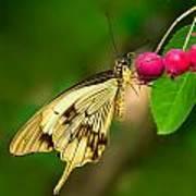 Mocker Swallowtail Butterfly And Berries Art Print