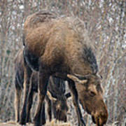 Mom And Young Moose Art Print