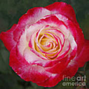 Mom's Red Rose  Art Print