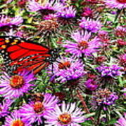 Monarch Among The Asters Art Print