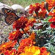Monarch Among The Marigolds Art Print