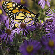 Monarch And Asters Art Print