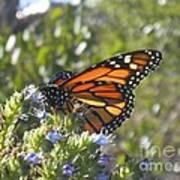 Monarch  Art Print