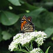 Monarch Butterfly 45 Art Print
